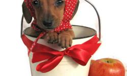 Miniature dachshund. Purebred. CKC reg'd . Smooth hair, and one long hair. 1 Male, and 3 females. Vet checked, vaccinated, tattooed, and dewormed,. Excellent health for over 18 years. Vet refferances, and buyer refferances available. Very nice