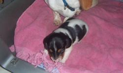 miniature smooth dachshund puppy,male,black and white piebald,very pretty coulourd,he is going to have his first shot and dewormed,he is ready to go in January,for more info. call 1-780-581-0207