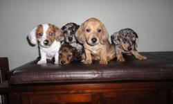 THESE HOME RAISE PUPPIES WILL BE READY TO GO IN THEIR NEW HOMES IN A FEW WEEKS( FEB.10). THEY ARE PEE PEE TRAINED AND SLEEP FROM 10PM TO 8AM! WE HAVE 4 FEMALES 1 LONG HAIR DARK BROWN,,,2 SILVER DAPPLES ,,,, 1 CREME DAPPLE,,, AND 1 MALE PIEBALD(PURE WHITE