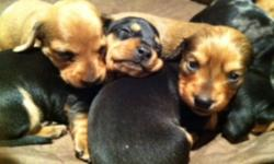 Wiener Puppies Small Breed Puppies 4 Short Hair 1 Long Hair (Tan Colour/female) Father is Tan/red colour & Mother is black/tan dapple colour. Dad and mom picture posted on this ad. Health Parents Standard/ Small Breed (great for condo living) 5 NEW