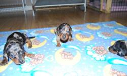 we have 6 miniature short haired dachshund pups ready to go in january. these are not xmas puppies.we do not place our puppies at xmas time. 5 girls. 1 boy. various colors. black and tans, black and tan dapples and chocolate dapple. mom is black and tan.