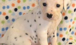Males and Females available! Black and white spotted and absolutely adorable Dalmatian Puppies! To see them is to love them. We currently have four males and three females available to their new homes for Dec 24. We will also hold until after the holiday