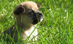Beautiful sable female PomChi available!   Lulu is a darling, motherly little girl. Raised in a family home with two children.   Will come with 1st shots, deworming, and her very own puppy pack: blanket, collar, toy, and food!   Taking deposits now. First