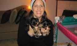 3 AdorableYorkie Puppies - 1 Female and 2 males for sale. Cocoa the mother is 9.5 lbs and Buddy the stud is 4.5 lbs. We own both the mother and stud. All very well tempered, smart and playful with moderate energy. Non-allergenic. Price $750.00 for Female