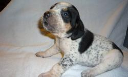 Purebred English coonhound puppies for sale, Puppies will be delivered to there new families with deworming and 1st set of vaccinations. Only 2 left Delivered to Edmonton December 9th weekend, Sale this weekend only Willing to make a deal, one female and
