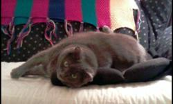 I have a lovely older adult cat in need of a quiet home. Samantha is a Russian Blue mix; Spayed, Declawed front paws, All Shots recently done;  Vet checked regularly. Samantha was my Grammas cat (Gramma passed away) and I am moving where another person