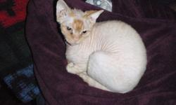 DEVON REX MALE KITTEN    ONE LITTLE GUY LEFT SWEET CUDDLY READY TO TURN YOUR WORLD UPSIDE DOWN!! CALL FOR MORE INFO