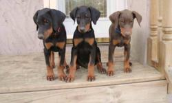 These adorable, extremely affectionate Doberman Pinscher Puppies are ready to go!  They have had their first set of vaccinations and full dewormer, and come with their vet records.  Both the parents and the puppies have an excellent temperament, and are