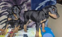 Playful pair of doberman pinscher pups.  These little ladies are sure to be a hit in your home.    Two females born Oct. 11/11.  They have had their 1st shots, dewclaws removed, dewormed and tails docked.   Parents on site and pictured in last two