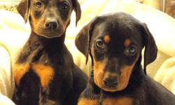 Start your new year with a new pup.  These doberman pinscher pups are sure to tug at those heartstrings.   Litter of 2 females (pictures 1-3) and 6 males (pictured in two groups).  All are black/tan.  Both parents on site.   1st shots and deworming; tails