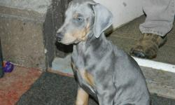 European and BC Bloodline; 9 weeks old Jan.30; Vet, check $1st shots, tails and claw removed, and have been dewormed.  These are truely awesome Doberman puppies. Must see 1 Female, 1 Male left. I will reduce price for right home.