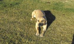 3yr old Female , bullmastiff/rottweiler/lab mix. Up to date on shots, raised on a farm, now lives in town, kept strictly outdoors. Sasha is not getting the attention she needs. Dog house, heat lamp, leash, collar, dog bowls included. Please only those