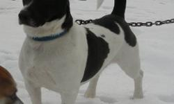 for adoption at Tweed Animal Shelter: 1 - Jack RussellxBeagle, male neutered, 3 yrs old, black and white.  Alert, housetrained, walks well on leash, quite bold. 1 - Jack RussellxBeagle, male neutered, 3 yrs old, tan and white.  Alert, house trained, a bit