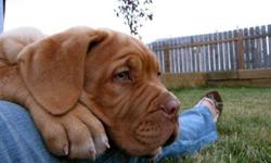 Dogue De Bordeaux puppies for sale! Rare.  Excellent breeding.  Parents come from exceptional breeding and are loyal, gentle dogs.