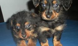 Dorkie Puppies, 2 females. The one will be about 4-5lbs and the other will be 7-8lbs full grown Come with first set of shots and dewormed twice. Dew-claws removed.  Mom is a 7lbs Miniature Dachshund and Dad is a 5lbs Yorkshire Terrier, registered with