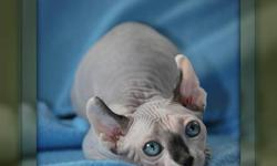 Elf kitten available, bouncy baby boy, home raised, seal mink and white, quality bred, hairless, TICA registered, health certificate, shots and neutered.  Check out our website @   www.elfcatsincanada.com