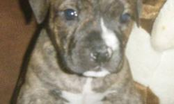 English bulldog cross to bulldog breed puppies 2 girls left. 1 boy 2 shots done dewormed,very socialized healthy hardy puppies. Brindle and a little white.Very short stalky puppies.  Low to the ground with nice big heads pics dont do them justice. Pic of