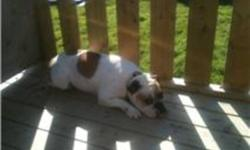 ENGLISH BULLDOG PUPPIES JUST BORN . DEPOSITS TO HOLD ARE $500. CALL 728-1715. 6 MALES AND 2 FEMALES ARE LEFT!!!