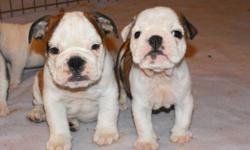 Hi there, I have 4 beautifull boys and 2 girls left almost ready to go to a great home.    These beautifull puppies come with 1st set of shots,they are microchip with 24 hour pet watch  with a one time fee that comes already paid with the purchase of ur