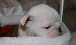 English Bulldog Puppies Date of Birth Oct 18/2011 English Bulldog puppies both parents Bulldogs, vet checked, vaccinated,wormed and have advantage on, Moms Pedigree included, Brindle and white, Nice chuncky puppies, mom is under 40lbs dad is 44lbs healthy