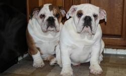 Awesome chubby English bulldog puppies available for new homes! 2 female and 1 male. All 3 puppy shots done, so they don't need anymore until next year also have been dewormed Ready for loving homes. please e-mail if your interested in the puppies.
