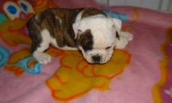 Now ready to go! Vet checked, micro chipped, vaccinated, dewormed, comes with a health guarantee and a starter kit. I have males and females available, and a nice assortment of color. Puppies are 7/8 English Bulldog X 1/8 Olde English Bulldog. E-mail or