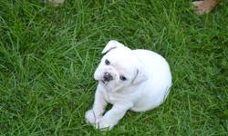 I am a member of the Canadian Kennel Club (CKC) and all my dogs are registered CKC. I have 1 male and 1 female for sale (female is all white and the male is all white with a patched eye) (I own the parents and one set of grandparents to these pups) First
