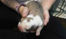 ENGLISH BULLDOG PUPPIES JUST BORN . DEPOSITS TO HOLD ARE $500. CALL 728-1715. 5 MALES AND 1 FEMALES ARE LEFT!!!
