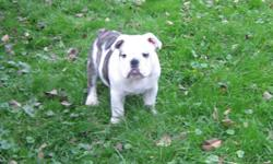 English Bulldog puppies 2 female and 1 male Ckc Reg. available,  Champion blood lines, both parents on site.  Theses puppies come with 1 year health guarantee,  first shots , micro-chipped. De-wormed,  99% house broken, well socialized with people , other