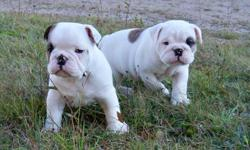 2 male English Bulldog Puppies   Both are absolutely adorable and are already showing their massive hilarious, sweet personalities, they will be big boys just like their dad.   Dad is Tenacious Too Strong Tonto, also known as Mr Wiggles. Mom is Vidic's