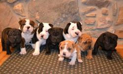 I have eight adorable English Bulldog/Sharpei puppies available by the middle of January! They are very friendly and are great with children. Mom is onsite. Mom is English Bulldog and Dad is Sharpei. This has created a uniquely wrinkled puppy with a cute