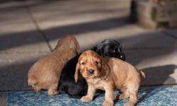 Cocker Spaniel Puppies ready to go in 3 weeks. Parents on site. The English Cocker Spaniel is a joyful, affectionate dog, family friendly, good with kids, active, playful, will fit comfortably into a small city apartment and will also take full advantage