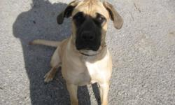 We have a really cute loving energetic English Mastiff puppy for sale. She is fawn with a black mask. Good weight and size for her age.   She is 10 months old.   She has not been fixed and has her shots. She is healthy and well mannered.   We are looking