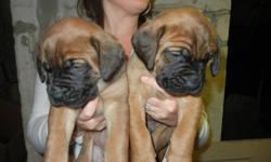 Litter of 7 beautiful Mastiff puppies. 4 males, 3 females. Pictures taken at 4 weeks of age. Pups will be vet checked, vaccinated, dewormed & ready to go at eight weeks. Pups are fawn & apricot color. Both parents have beautiful markings & excellent