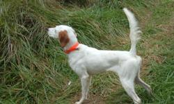 Beautiful English Setter female orange and white really nice disposition 15 months old registered. Loves finding and pointing birds. Also really loves people would make great housedog . Great bloodlines, ready for the field,pointed partridge quail