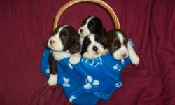 Adorable English Springer Spaniel Puppies - CKC.Registered - Guaranteed - Since 1989 - Male and Female - Black and White, Liver and White - Now taking deposit on fall litter - Born October 22,2011 Visit us at www.englishspringerspaniel.ca - Barrie,