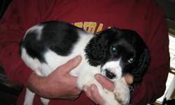 Purebred English Springer Spaniel puppies ready to go now! Needled, dewormed and vet checked. Field springers. Parents on site. 1 black & white male 1 liver & white female
