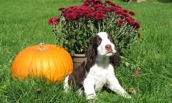 READY TO GO NOW! Lola's litter that was born on July 15th are now ready for their new homes. They have their 1st shots as well as they are fully de-wormed and have had advantage. We have been breeding Springer's for the last 27 years and we have 3