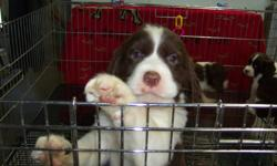 Adorable English Springer Spaniel Puppies - CKC.Registered - Guaranteed - Since 1989 - Show Quality/Campanion - Male and Female - Black and White, Liver and White - Born October 2011 and now available to new homes - We are now accepting deposits on spring