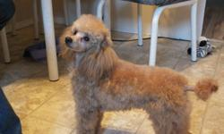 Free to good home only ,a male apricot minature poodle 7 months old...He is housetrained likes to curl up on the couch and sleeps with you. He has all his shots and is microchipped..He has a excellent teperment. He is groomed and waiting for that someone