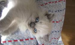 This beautiful blue point kitten comes with his first two vaccinations done and all dewormings as well as a kitten starter kit. His beautiful mother is an exotic persian that is TCA registered. His father is a very handsome ragdoll that is TICA and TCA