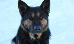 Litter of registered German Shepherd puppies expected to be born around January 17th, 2012. Previous litter from these two parents have produced black & tan, as well as pure black pups. Both parents possess exceptional mannerism and intelligence. The