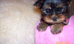 Exquisite female yorkie pocket size tea cup at maturity will rich 3.5 lbs. Veterinary checked, healthy, first shots, dewormed, she is a little sweetheart, amazing intelligent with lovely disposition, affectionate , loves kisses, perfect doll to loving