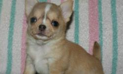 We have a stunning gorgeous purebred and reg'd gold/white short coat male available! See a video here (copy and paste link): http://www.youtube.com/watch?v=nNvFOhr8au4    He is stunning, and very small! He is stocky built and is a Chihuahua puppy for