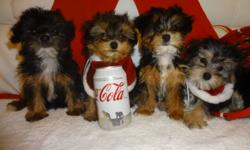 Female available, tiny toy morkie, ready to go now. 647-839-6804 Pic-1, 2, 3, 4===800$---female. THEY WILL BE 5-6LBS ONCE FULLY GROWN, CUTE AND TINY, Vet checked and recieved their 1st shots, dewormed. Hypoallergenic, non shedding, our pups have full and