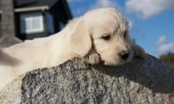 BEAUTIFUL LABROADOODLE PUPS. Really soft and playful. Really friendly personalities. Love to play in the grass. Both parents are our pets and have fantastic personalities and temperament. We have 3 Cream puppies and 5 Jet Black pups We have 5 females and