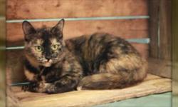 Lynn is a beautiful Torti, approximately 2 years old. We would like to feature Lynn because she has been with us for a few months now. She is a very shy individual but she will warm up and purr with all the love she can muster. Lynn is part of our Iams