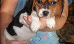 Female Beaglier Puppy has been vet checked is healthy, has first shots, dewormed every 2weeks, eating Purina Puppy Chow and comes with a 1 year puppy health guarantee. She is cash and pick up only. I live 1 hour east of Kingston in the country. A beaglier