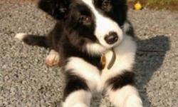 I have been looking for a Border Collie for a long time now and I've finally decided to try putting up this wanted add!  I am 21 years old and looking for a dog that I can have daily morning and evening jogs with. I do not want to travel to far from town