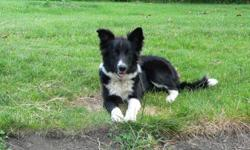 Beautiful 10 month old female border collie pup. Loves children and is very affectionate and obedient. House trained and shots and deworming up to date.
